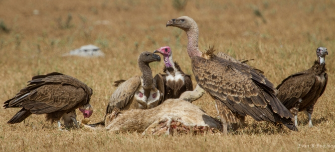 SIDING WITH THE VULTURES